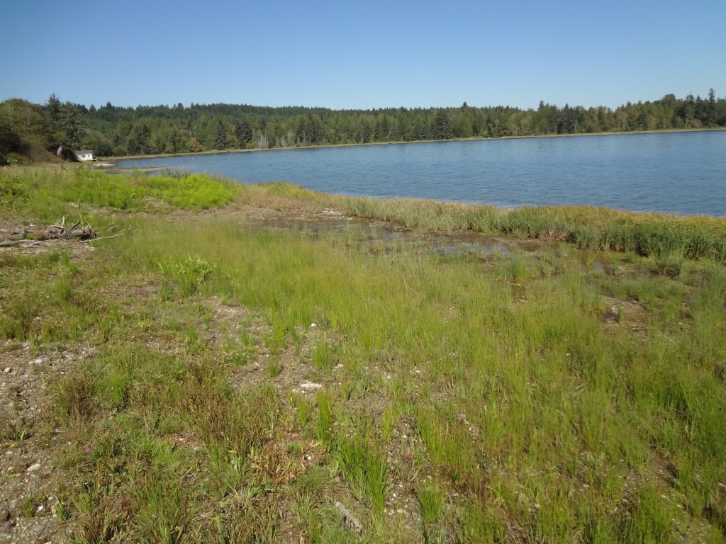 View of the restored shoreline in the fall of 2013. The area where the bulkhead and lawn used to be is now being populated by native wetland plant species that will provide habitat for shoreline fauna.